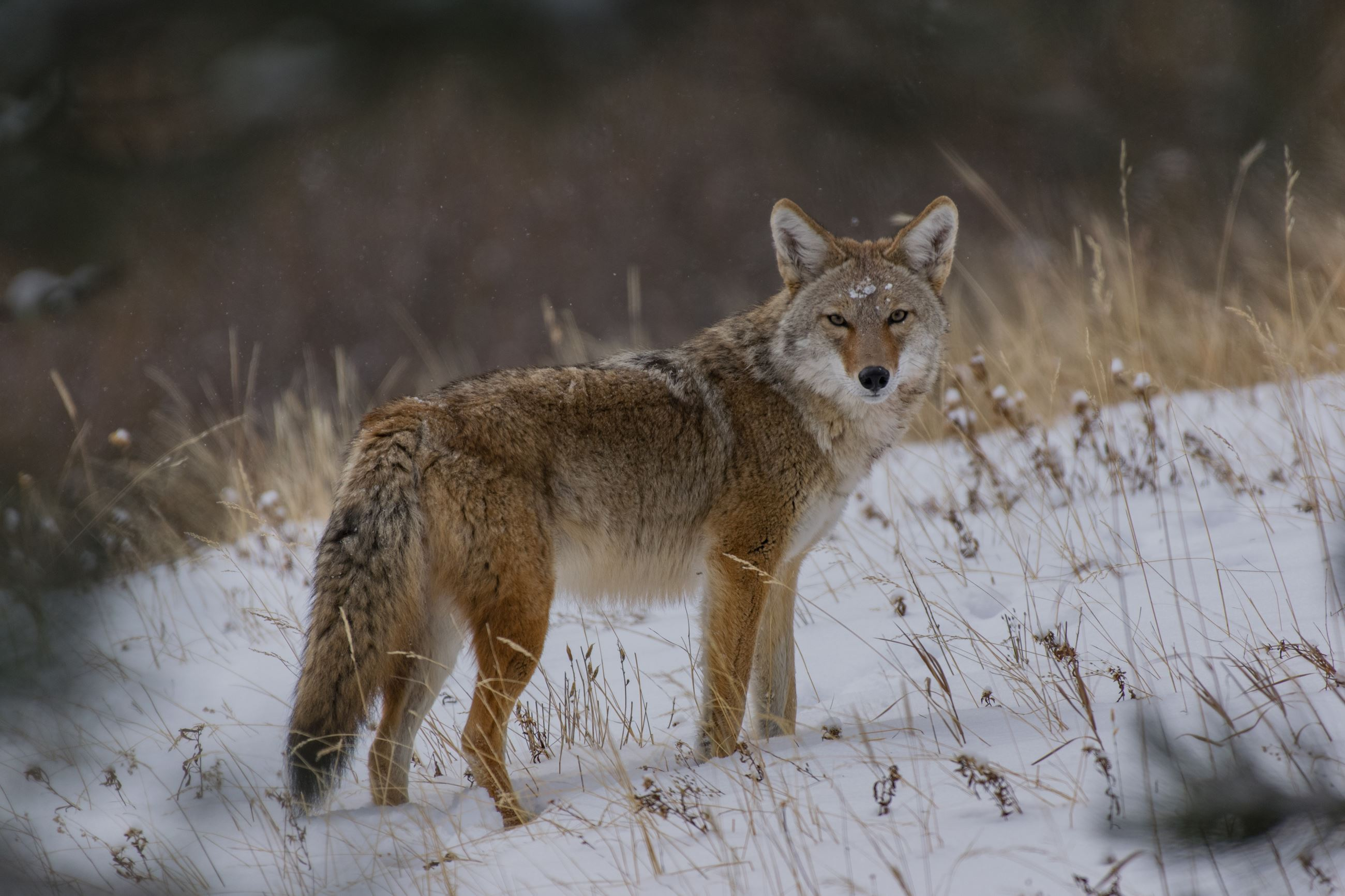coyote in winter scene
